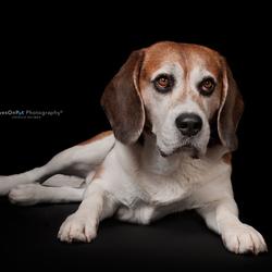I'm a Beagle