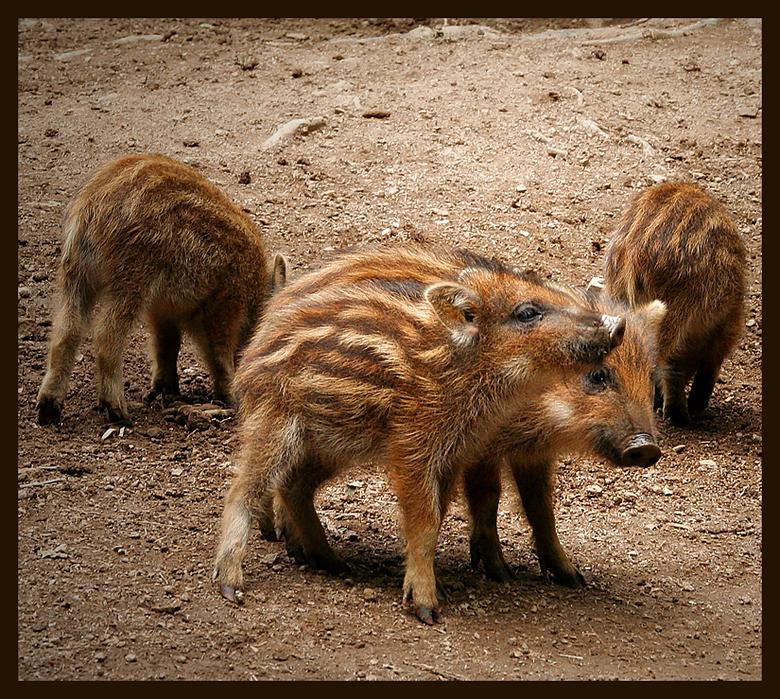 het vervolg op de vorige foto .. - de familie wild zwijn scharrelde rustig door en leek mij<br /> niet te zien.<br /> ik zag toen dat een paar klein