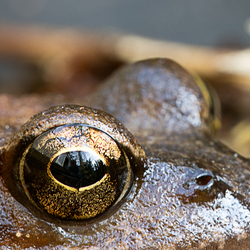 Close-up: frogs eye