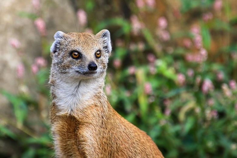 Vosmangoest - Hij lijkt wel op een vos maar is dat niet. De Vosmangoest is een roofdiertje uit het zuiden van Afrika. Ze leven daar in grotere groepen