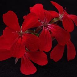 Gewoon bloem