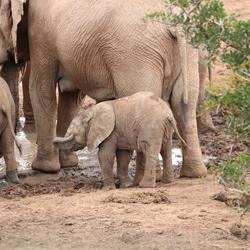 Olifantje Zuid-Afrika