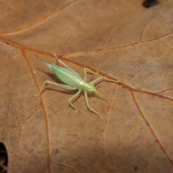 Groen insect