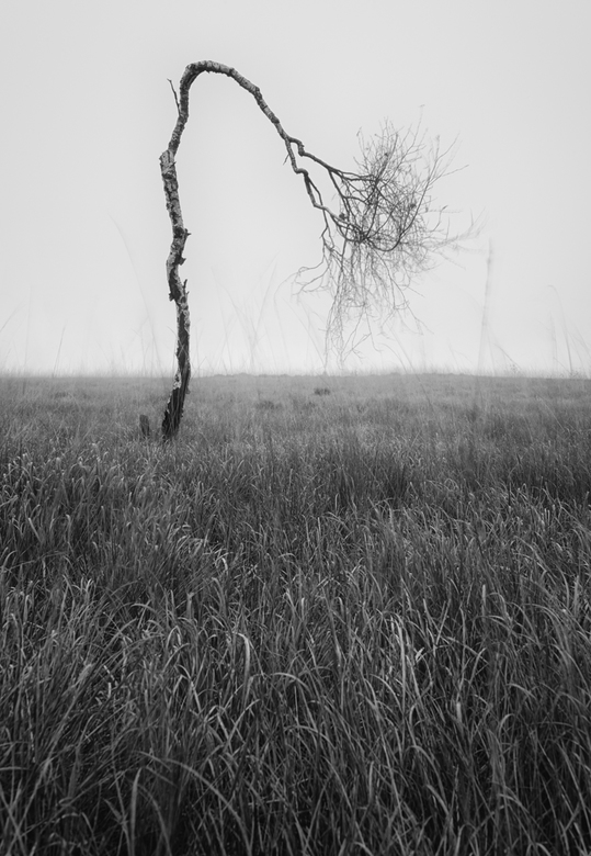 Bent but not broken - Een eenzame berk op de uitgestrekte mistige vlaktes van de Hoge Venen in Belgie.