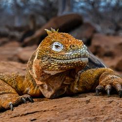 MAR3443 Iguana