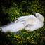 Albino Pauw