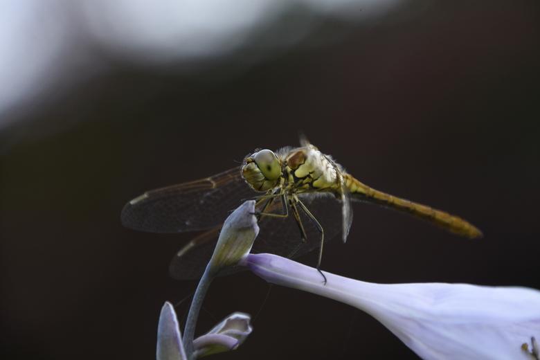 Libelle in de tuin - Na een warme dag zag ik aan het eind van de middag allemaal libelles op hosta zitten. Prachtig!!!