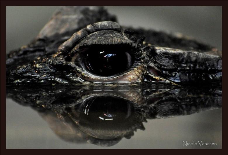 kroko - krokodil uit dierentuin Liberec, Tsjechië
