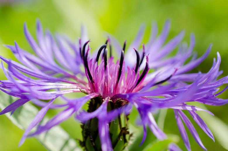 Korenbloem - Wachtend op de bus naar huis, zag ik deze bloem staan. Gelukkig had ik mijn Nikon bij me om er een paar foto's van te schieten. Zie