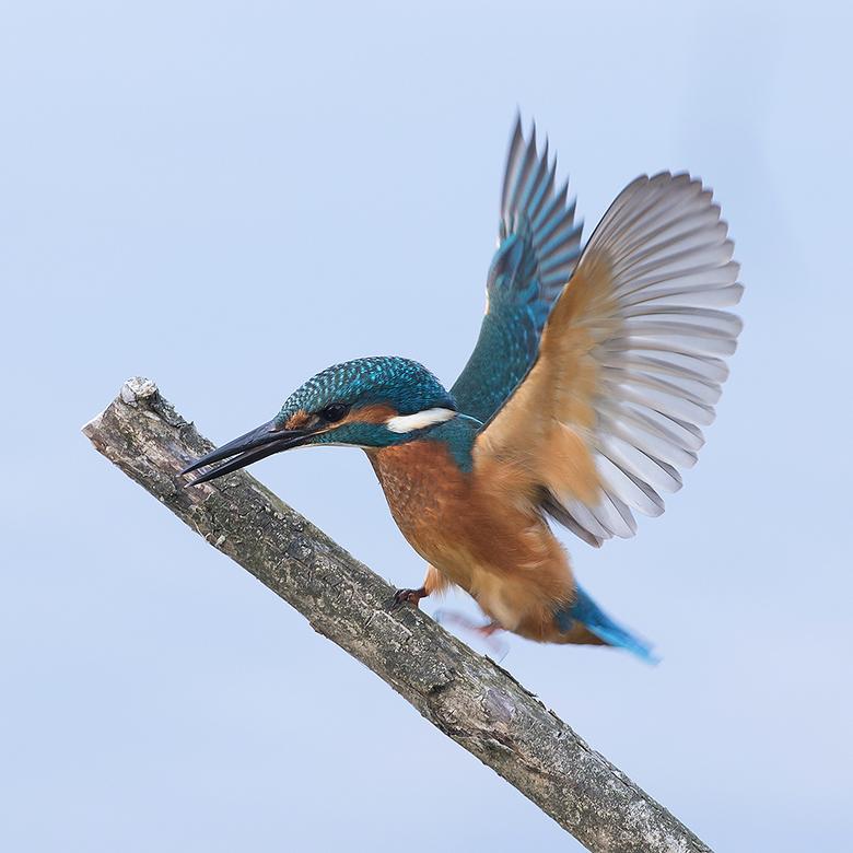 Balance! - Deze IJsvogel verdedigde zijn plekje tegen zijn broertje of zusje.<br /> <br /> Iedereen een fijn weekend gewenst en bedankt voor de mooi