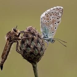 Roofvlieg met bleekblauwtje