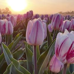 Roze/witte tulpen