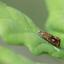 geisha vlinder LO0A1493