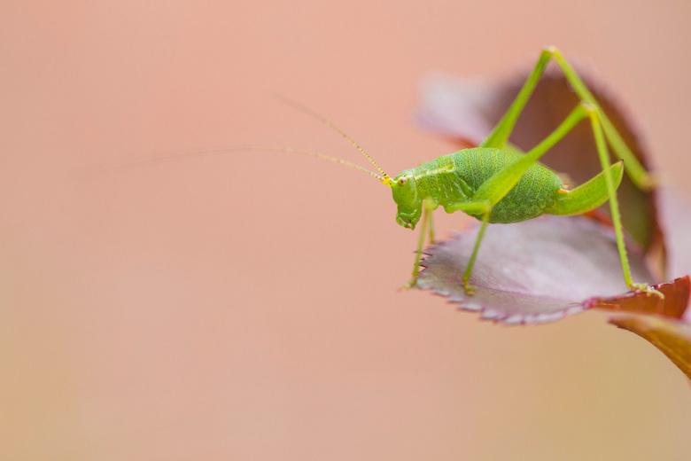 Sabelsprinkhaan - Het groen van de sprinkhaan contrasteert mooi met de rood-oranje omgeving.