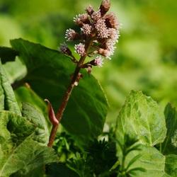 Oeverplant  (Groot Hoefblad)