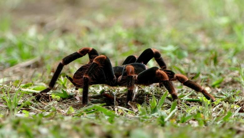 Tarantula - Deze Tarantula (Vogel-)spin verraste mij en mijn vooral mijn vrouw toen we midden in de natuur, in een cabin in Costa Rica, einde middag i