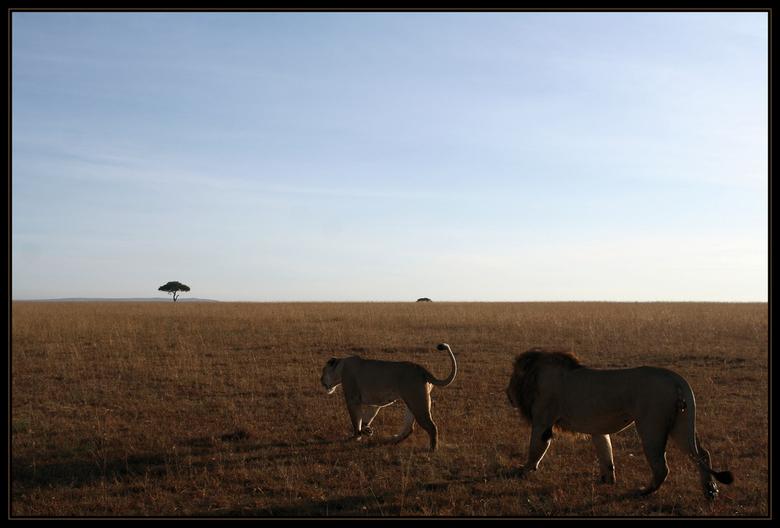 Leeuwen op weg - We konden deze leeuwen een aantal kilometers volgen in de Masai Mara. Waar het vrouwtje heen ging was onduidelijk, de kerel liep in i