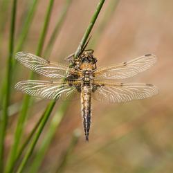 glossy wings