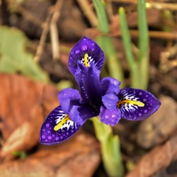 franse lelie - mini Iris-Iris reticulata.