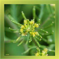 Onkruid ,wat mooi bloeit