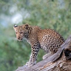 Luipaard welp wachtend op zijn moeder