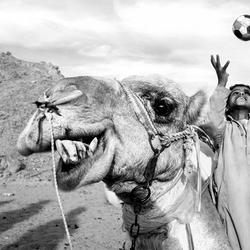De blije kameel