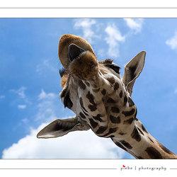 Giraffe erg dichtbij
