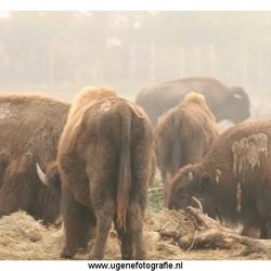 Bizons in de mist