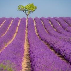een boom en lavendelveld