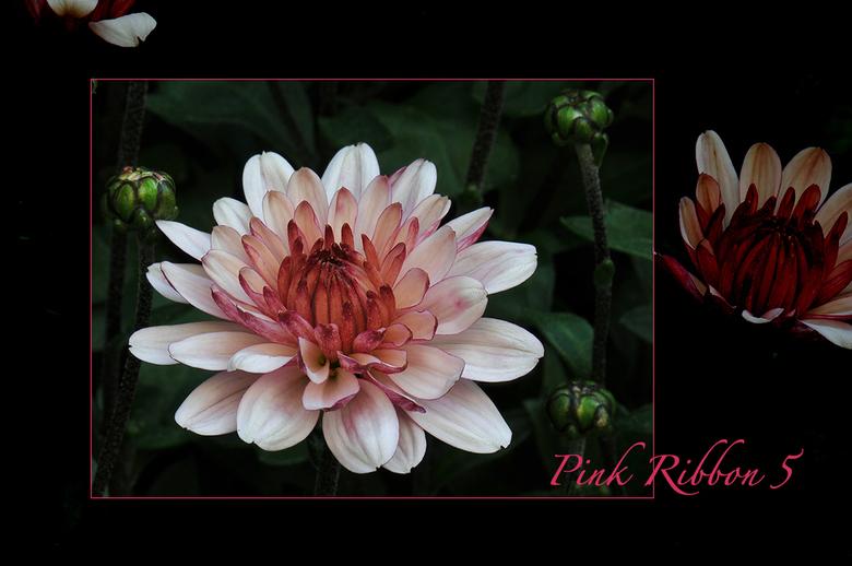 Pink Ribbon 5 - Nog maar eens een bijdrage. Het lint kan wat mij betreft niet lang genoeg worden ...<br /> Een chrysant uit onze tuin.<br /> groet,