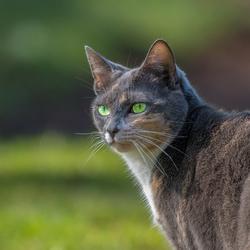 Kat met groene ogen