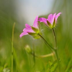 Het roze bloemetje