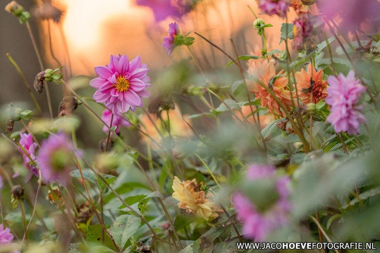 Herfstsferen - Dahlia in mooie herfstsferen. Genomen op donderdag 29 oktober 2015.