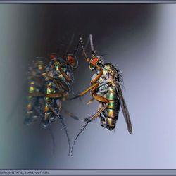 Verrassende opname van de Poecilobothrus Nobilitatus, de slankpootvlieg.