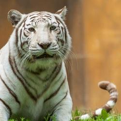 Witte tijger.