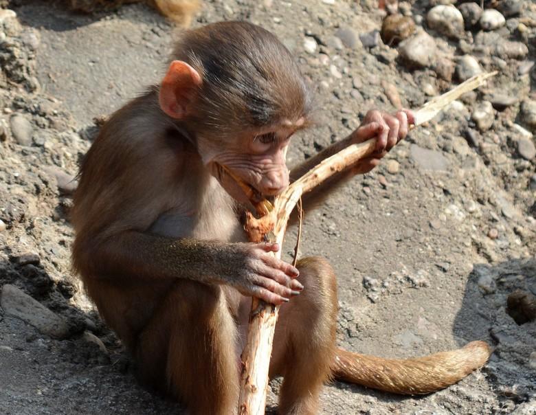 Jonge baviaan. - Jonge baviaan in dierentuin Emmen.