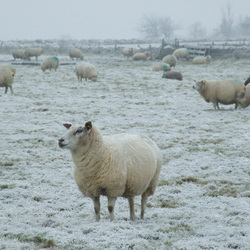 Schapen in de winter