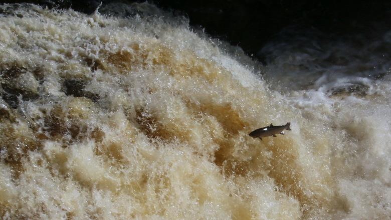 Schotland -4- - Vergeleken bij de watervallen van IJsland is de waterval van Shin in de Schotse Hooglanden maar een kleintje. Maar hier zwemt wel de w