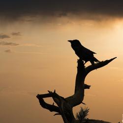 Sunset Raven