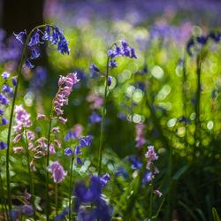 Bos hyacinten