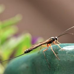 sluipwespfamilie Ichneumonidae ?