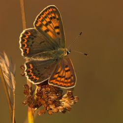 Bruine Vuurvlinder 2