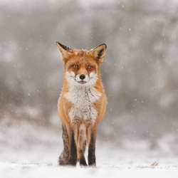 Winter Vos.
