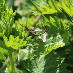 Voortplanting van langpootmuggen