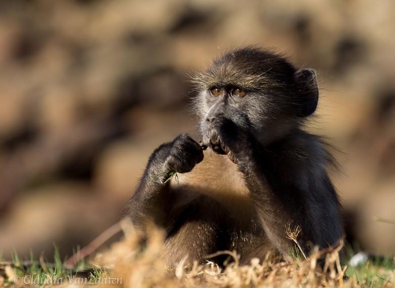 Little baboon -