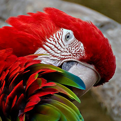 Ara Close-up  (rood-groen- blauw)_DSC4981