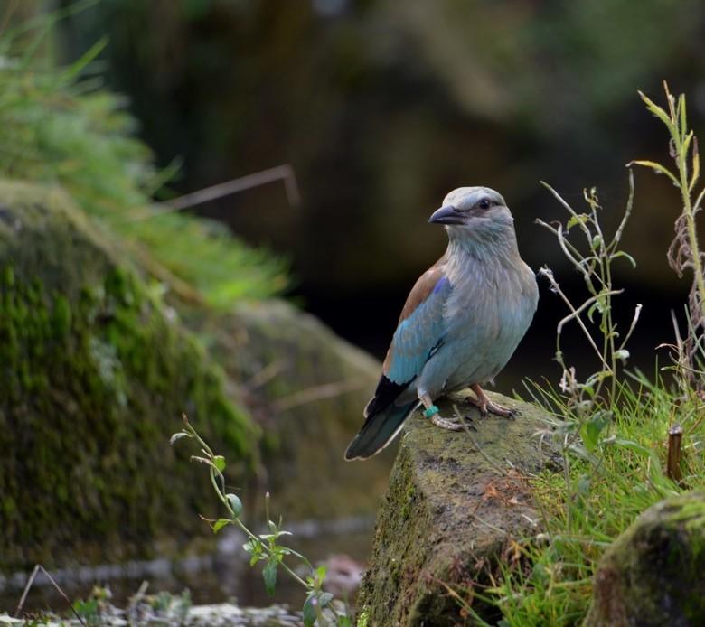Blauwe scharrelaar - Na een hectische periode eindelijk wat rust en vakantie. In Gaia Zoo zat ik in het vogelverblijf te wachten op de blauwe scharrel