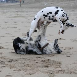 Speelse honden
