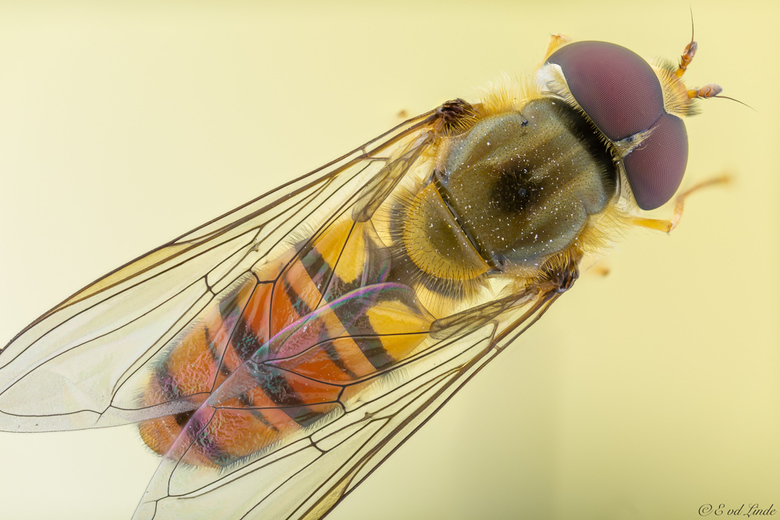hoverfly - zweefvlieg 2.5x vergroting
