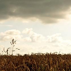 Donkere wolken, zon en koren